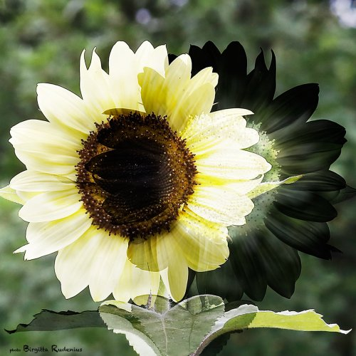 pm_20130729_sunflower1