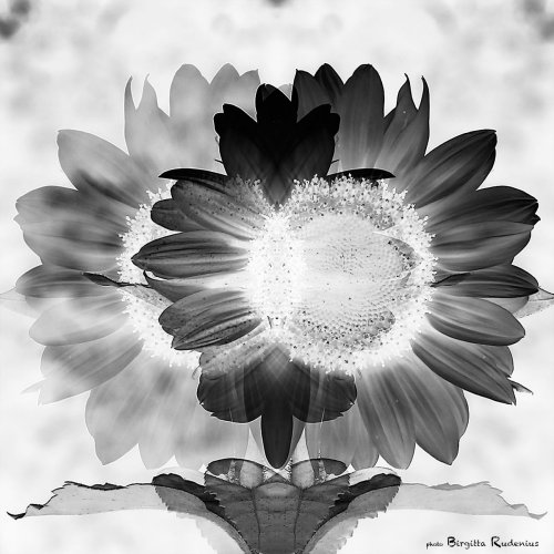 pm_20130729_sunflower2bw